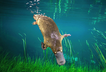 Duck Billed Platypus Swimming The platypus is a solitary