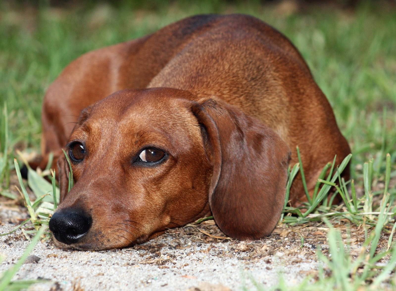 Cute Puppy Dogs Brown Dachshund Puppy