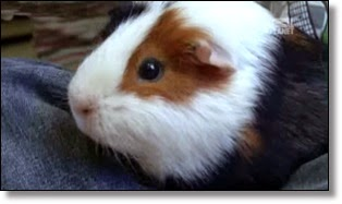 Picture of guinea pig