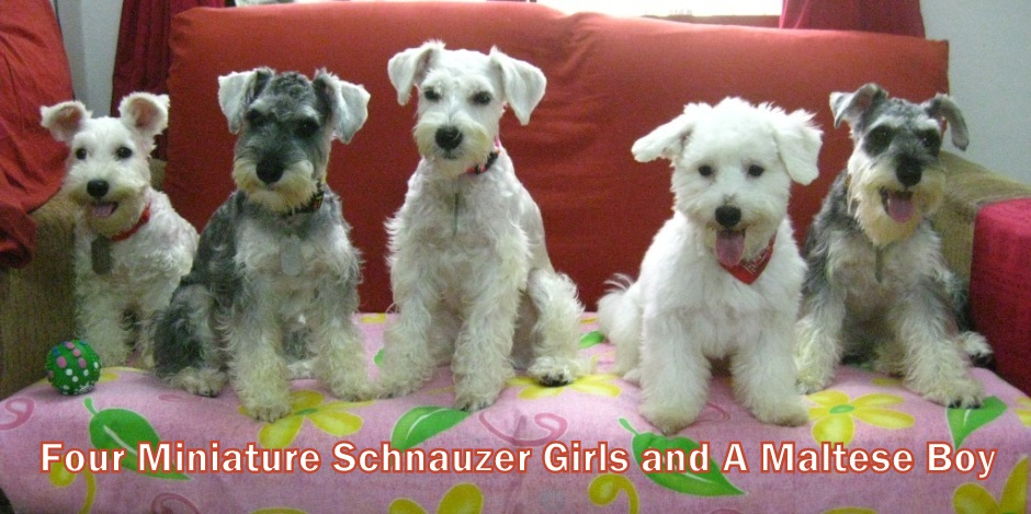 Four Miniature Schnauzer Girls and A Maltese Boy