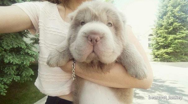 Adorable cachorra Shar-Pei luce como un tierno oso teddy