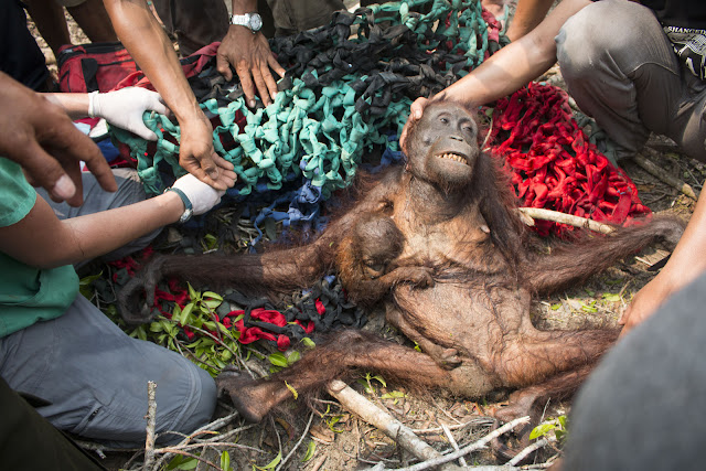Orangutan and her baby were stoned by the villagers after surviving a forest fire!
