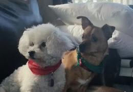 Dulee, little white dog & Zodiac
