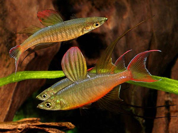 ... Rainbow! on Pinterest Rainbow Fish, Freshwater Fish and Aquarium