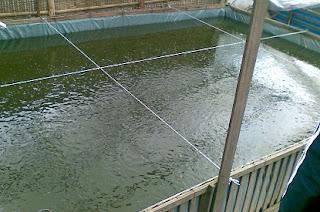cara budidaya ikan gabus di kolam terpal,patin kolam terpal,gurame di kolam terpal,kolam terpal dan beton,resensi di kolam terpal,nila di kolam terpal pdf,