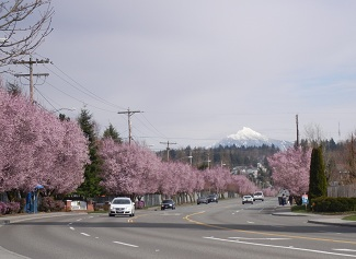 PINK TREES WITH MT PILCHUCK
