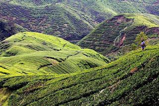 piantagioni tè Malesia
