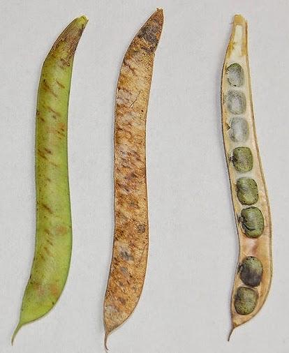 Clitoria ternatea legumes
