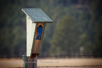 Mountain Bluebird in Custer State Park by Dakota Visions Photography LLC