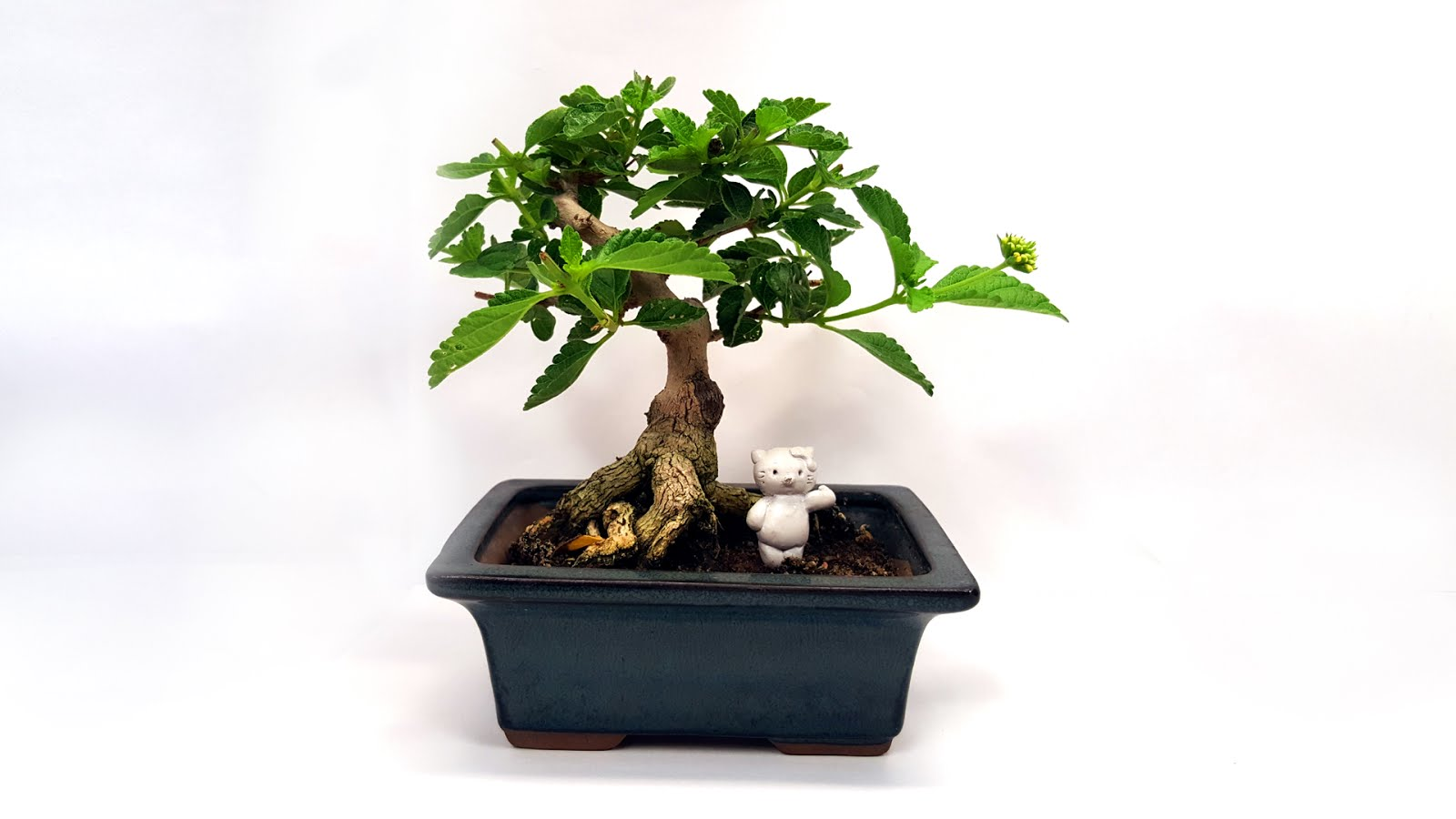 Bonsai Misadventures Are We Refining Bonsai Trees Or Are Bonsai