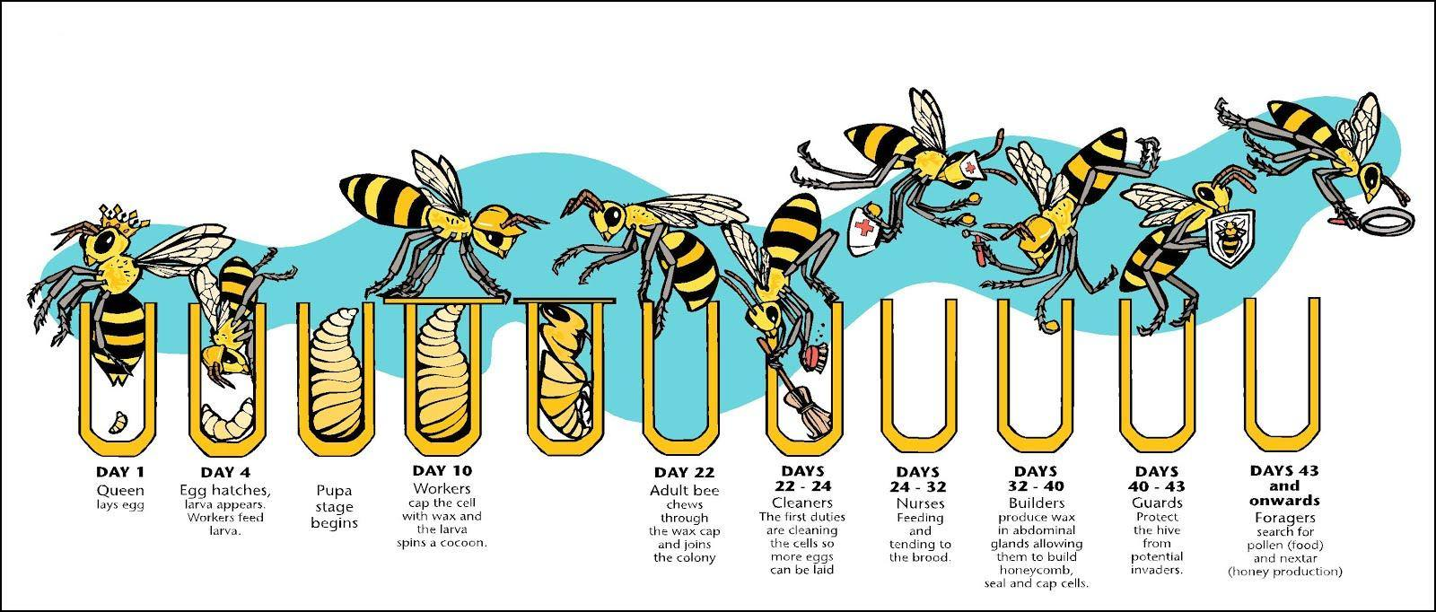 a look into the social organization of honey bees Community organization a philosophical and neurobiological look into the jar of our honey and if you still like billy bee more than pure honey i will.