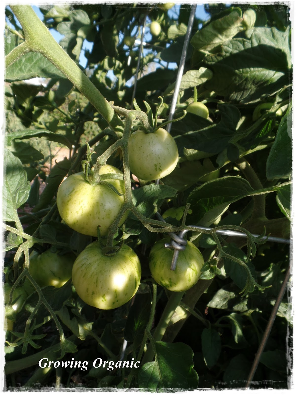 100 ripening green tomatoes video ripening green tomatoes i