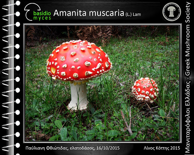 Amanita muscaria var. muscaria (L.) Lam.