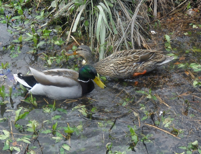 A pair of Mallard ducks foraging for food, Sunset Bay, White Rock Lake, Dallas