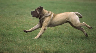 Beautiful wallpaper of running mastiff dog picture