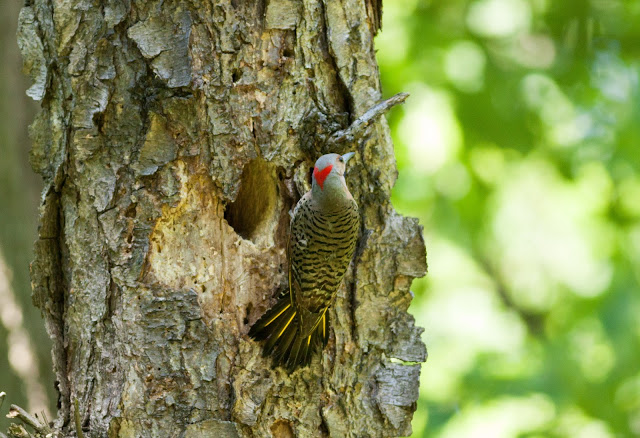 Northern Flicker - Prospect Park, New York