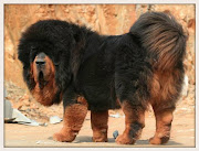 However, in nomad camps and in villages, the Tibetan Mastiff is .