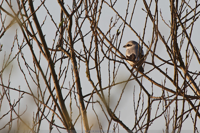Klapekster - Northern Shrike - Lanius Excubitor