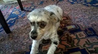 Βρέθηκε η σκυλίτσα της φωτογραφίας χτες το μεσημέρι στην Χαριλάου, Θεσσαλονίκης