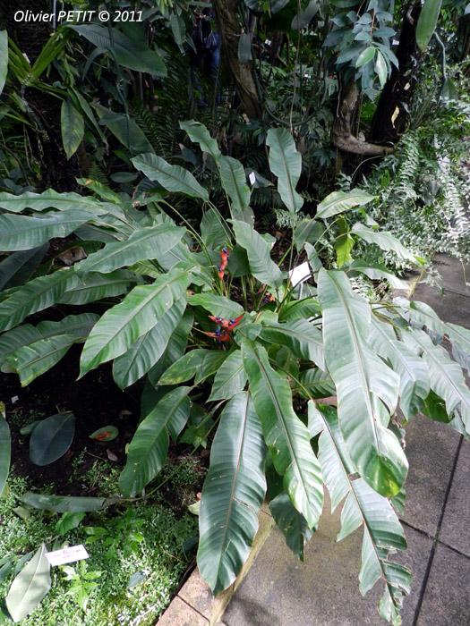 VILLERS-LES-NANCY (54) - Les serres du jardin botanique du Montet-Balisier d'Amerique du Sud