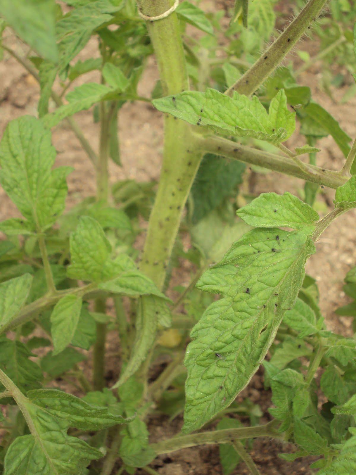 En torno al huerto vuelve el pulg n - Pulgon en plantas ...