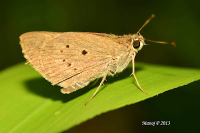 Indian Palm Bob - Suastus gremius gremius skipper butterfly life cycle