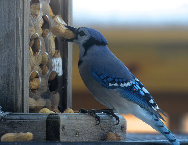 Blue Jay pulling peanuts out of the peanut feeder.