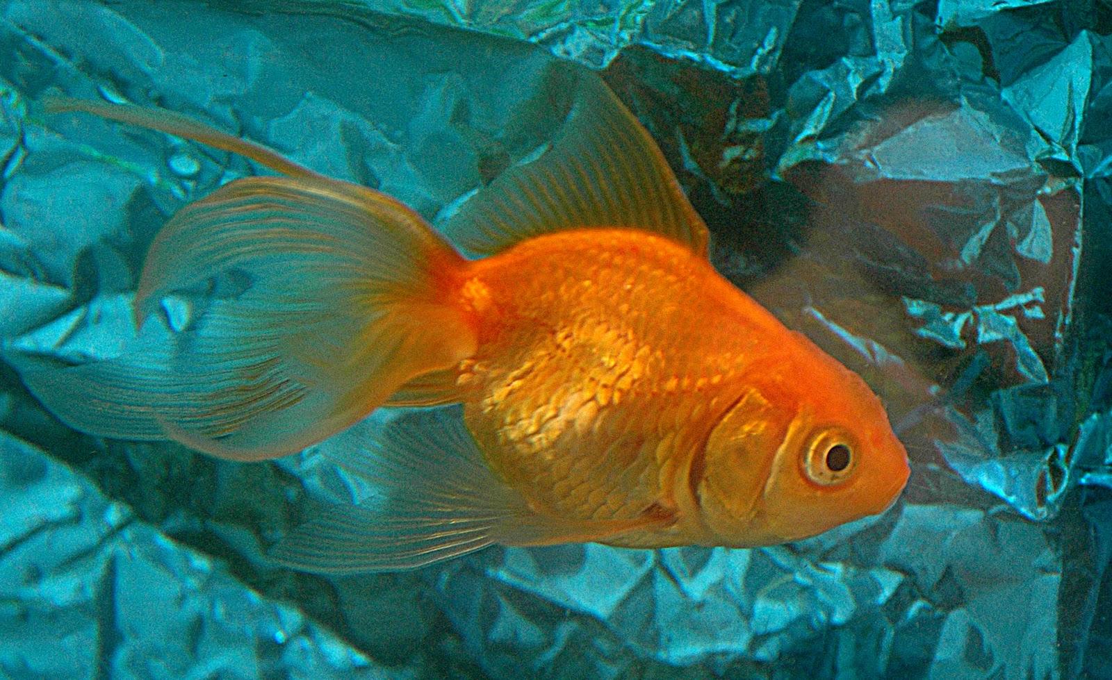 Marine aquariums goldfish tanks for Fish for gold
