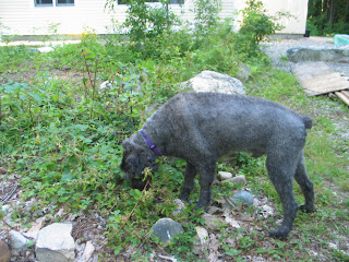Gadget steps among rocks and bushes to get at ground-vine blackberries. The picture shows him in profile, powerfully built, short gray peach-fuzz fur, and focused on his task.