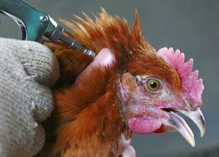 peternakan ayam terbesar di indonesia