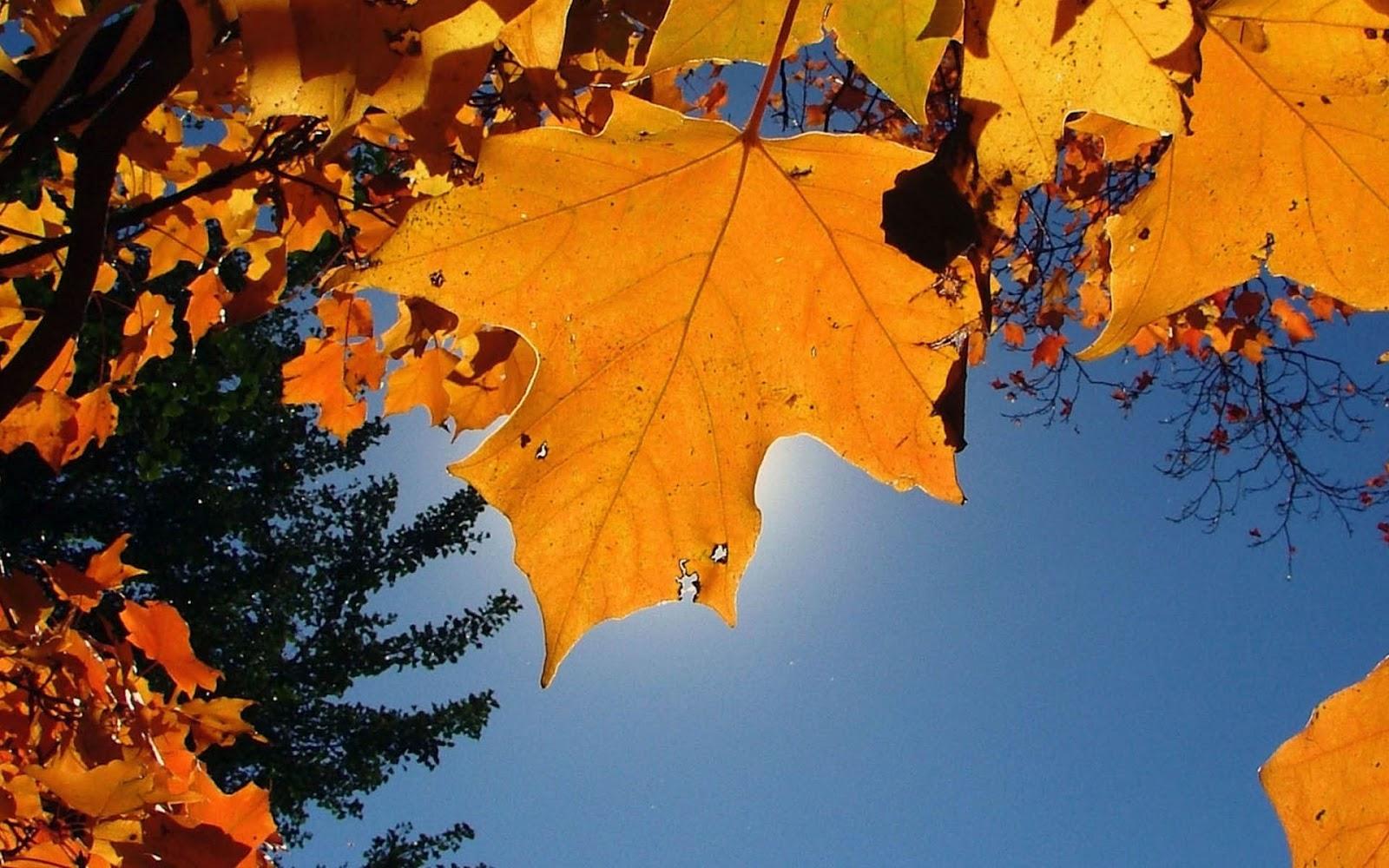 http://1.bp.blogspot.com/-OJkHWdQ2Eoc/UEh6vyJfUMI/AAAAAAAAGbA/o-W1jffBFw4/s1600/hd-herfst-wallpaper-met-oranje-herfstbladeren-aan-de-boom-hd-herfst-wallpaper-foto.jpg