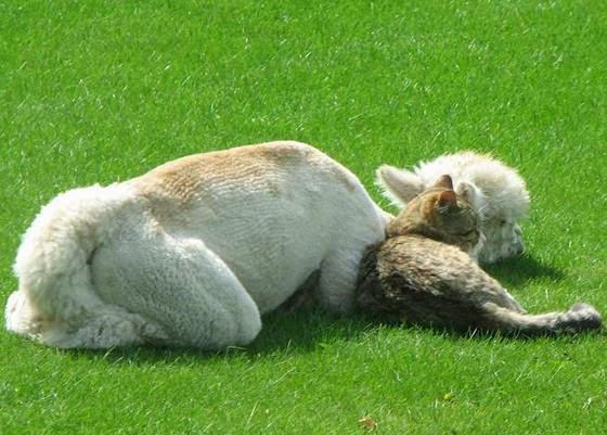 foto persahabatan seekor alpaca dan sepasang kucing 04