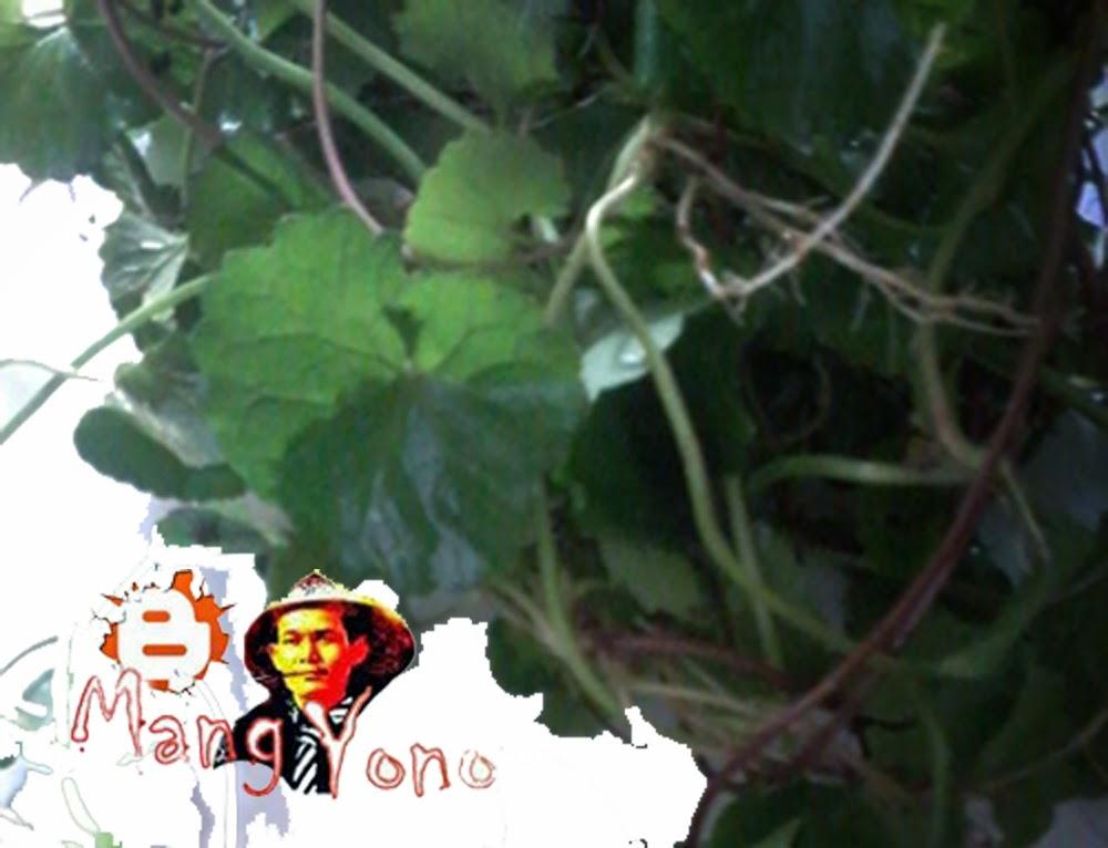 Antanan Tumbuhan merayap dengan daun bulat-bulat