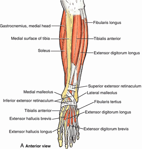 Men S Shoes Posterior Tibialis