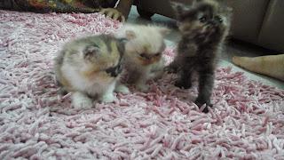 Anak Kucing Parsi Yang Comel