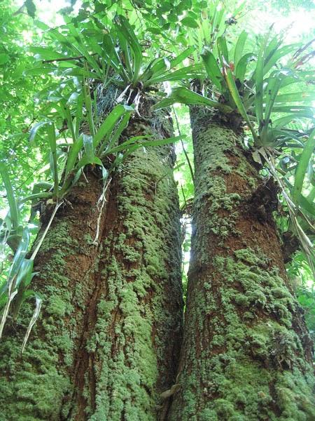 Ecosistemas de costa rica bosque nuboso for Porque son importantes los arboles wikipedia