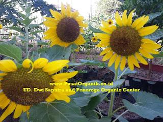 Bunga Matahari Organik: Cara Tanam dan Budidaya