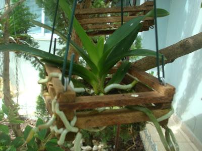Como cuidar de orquideas para florir