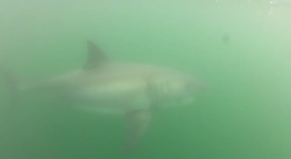 Fisherman get bumped by great white shark off Franklin Point near Santa Cruz California