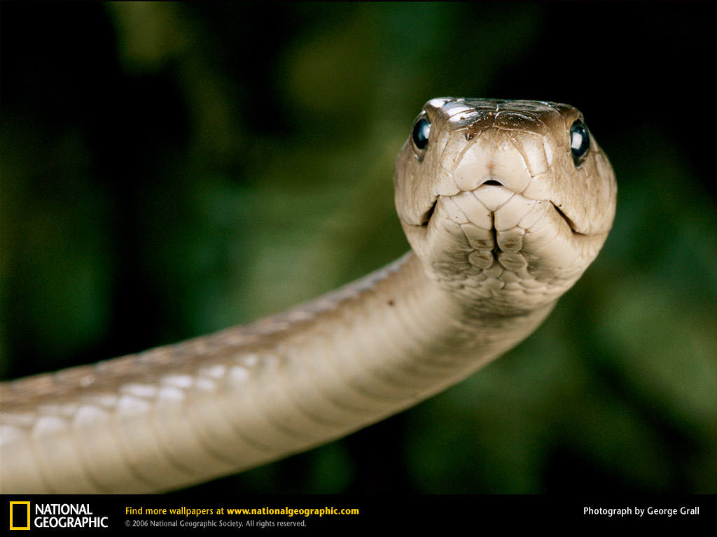 Wallpaper Snake Black Mamba