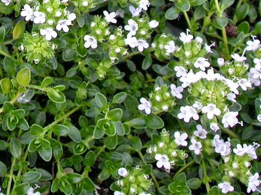 cỏ xạ hương trị viêm phế quản mãn