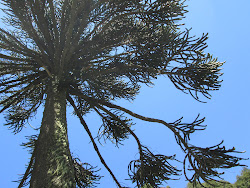 Up the Monkey Puzzle Tree
