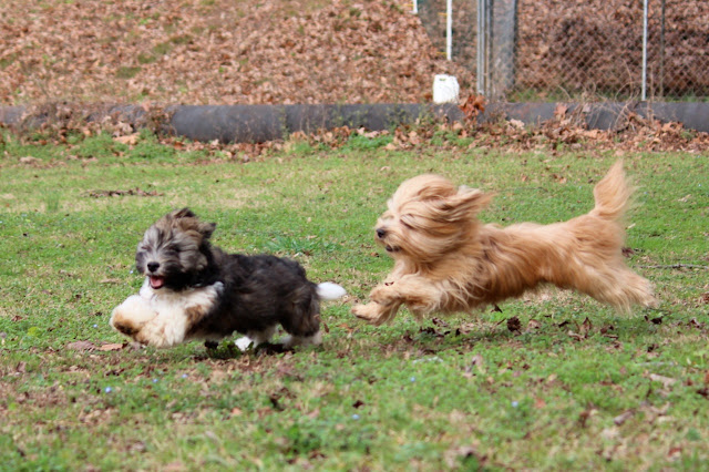 Havanese playing