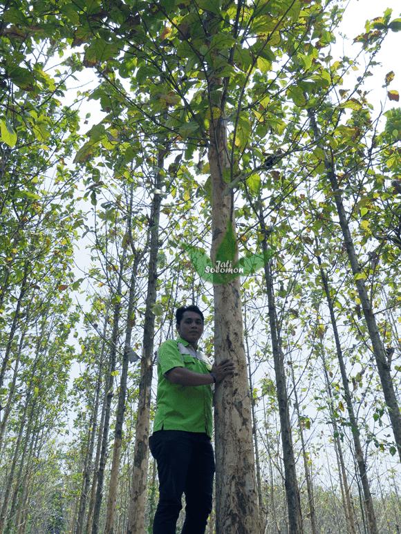 Pohon_Jati_Solomon_Umur_4_tahun_Semarang6