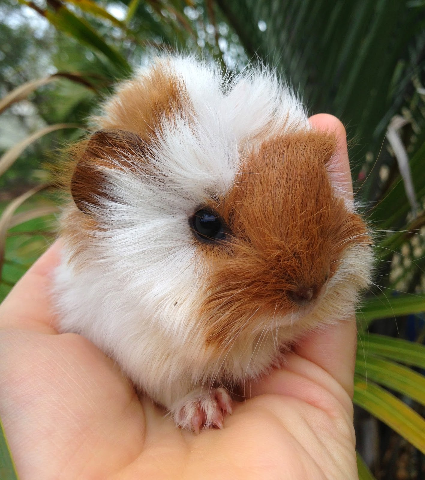 Free Guinea Pig & Pet Images - Pixabay