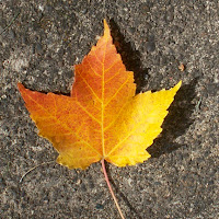 single autumn fall leaf golden yellow and red on sidewalk photo by Jennifer Kistler copyright 2012