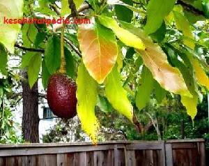 Manfaat daun dan biji alpukat