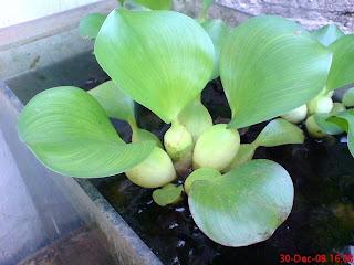 Mengenal manfaat daun eceng gondok sebagai makanan tambahan untuk ternak ayam