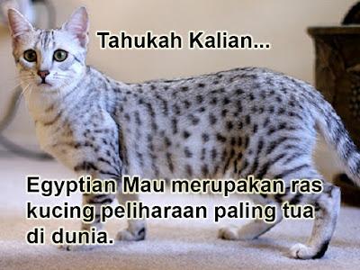 Egyptian Mau merupakan ras kucing peliharaan paling tua di dunia.