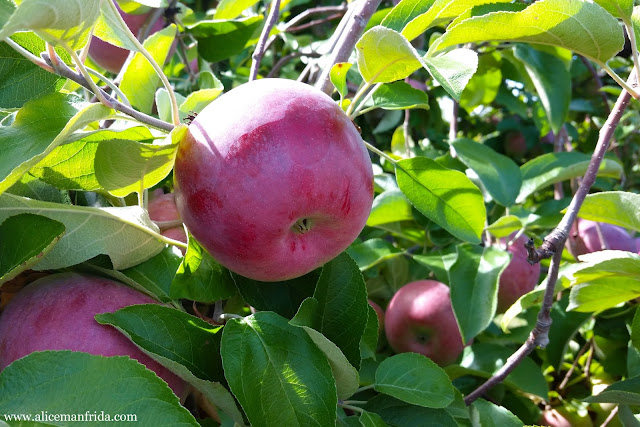 Massachusetts, Carlson Orchards, apples, trees, nature, New England, Fall, Autumn